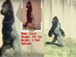Hygiene-Conscious Gorilla Walks Around on 2 Legs Just to Keep Hands Clean