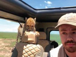 Tourist gets shock of life when cheetah climbs INSIDE jeep during safari (Video)