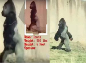 Hygiene-Conscious Gorilla Walks Around on 2 Legs Just to Keep Hands Clean